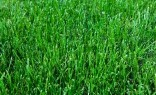 Landscaping Solutions Sir Walter Buffalo Lawn Turf